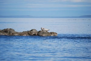 Seal on the sea of San Juan Island